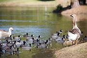Brown Chinese Goose And American Coot At El Dorado Park