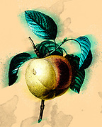 Digitally enhanced image of a 19th-century hand painted Engraving illustration of a Calville Blanc (Apple) by Pierre-Joseph Redoute. Published in Choix Des Plus Belles Fleurs, Paris (1827). by Redouté, Pierre Joseph, 1759-1840.; Chapuis, Jean Baptiste.; Ernest Panckoucke.; Langois, Dr.; Bessin, R.; Victor, fl. ca. 1820-1850.