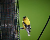 American Goldfinch. Image taken with a Nikon D5 camera and 600 mm f/4 VR telephoto lens (ISO 720, 600 mm, f/5.6, 1/1250 sec).