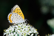 03129-00318 Bronze Copper butterfly (Lycaena hyllus) on Garlic Chives (Allium tuberosum), Marion Co.  <br /> IL