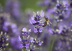 © Licensed to London News Pictures. 23/07/2014. Summerdown Farm, Hampshire, UK. A bee on Lavender flowers in bloom on Summerdown farm near Malshanger in Hampshire. The lavender will be harvested and distilled into lavender oil. Photo credit : Rob Arnold/LNP