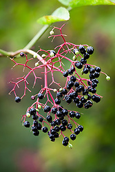 Black berries of Common Elderflower or Elderberry. Sambucus nigra