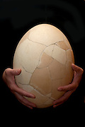 Re-constructed Elephant Bird Egg, Aepyornis maximus, Fort Dauphin, Madagascar,  a giant, flightless ratite native to Madagascar, has been extinct since at least the 17th century. Aepyornis was one of the world's largest birds, believed to have been 3 metres (10 ft) tall and weighing close to half a ton – 400 kilograms (880 lb)