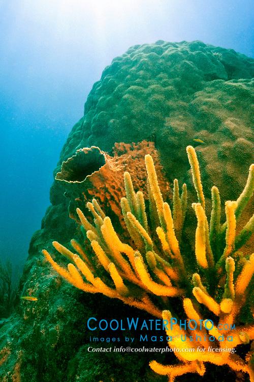 boulder star coral, Montastrea annularis, encrusted with giant barrel sponge, Xestospongia muta, and porous sea rods, Pseudoplexaura sp., Looe Key, Florida Keys National Marine Sanctuary, Atlantic Ocean