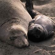 Northern Elephant Seal, (Mirounga angustirostris) Mother and pup on beach. California.