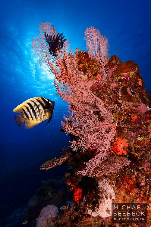 A six-barred angelfish (Pomacanthus sexstriatus) swimming up to a fan coral on a reef of the Great Barrier Reef near Lizard Island.<br /> <br /> Open Edition Print / Stock Image