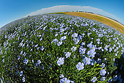 Flowers of flax crop up close<br /> Pembina Hills<br /> Manitoba<br /> Canada