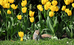 © Licensed to London News Pictures. 21/04/2014<br /> <br /> York, United Kingdom<br /> <br /> A squirrel plays in the tulips during a sunny day in the Museum Gardens in York.<br /> <br /> <br /> Photo credit : Ian Forsyth/LNP