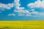 Canola and clouds<br /> Foam Lake<br /> Saskatchewan<br /> Canada