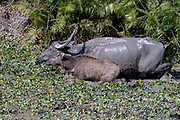 Wild water buffaloes, mother and off-spring, (Bubalus arnee) from kaziranga National Park, Assam, north-east India.