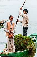 Removing weeds from Dal Lake, Srinagar, Kashmir, Jammu and Kashmir State, India. The weeds are created by  raw sewage flowing into the lake, which creates an unhealthy influx of nutrients, mostly nitrogen and phosphorus, acts as a super-fertilizer. The result is an explosive growth of duckweed, water ferns, and algae that eventually depletes the water of the oxygen vital to fish and other aquatic life. Add to this a drainage system constantly clogged with muck, along with little wind to aerate the water, and the result, researchers say, is a lake in peril.