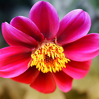 """""""Looking Down""""<br /> <br /> A beautiful pink and purple Dahlia macro with her bright yellow center facing downwards in the late afternoon sun.<br /> <br /> Flower and floral images by Rachel Cohen"""