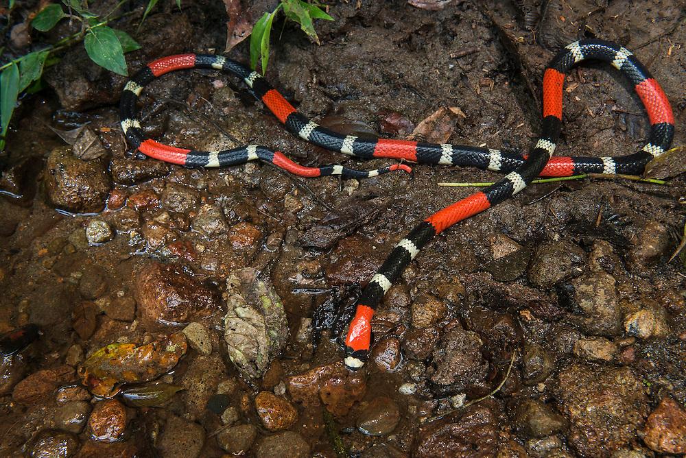 South American Coral Snake (Micrurus lemniscatus)<br /> Amazon<br /> ECUADOR<br /> Vivarium ID # 3680<br /> Captive