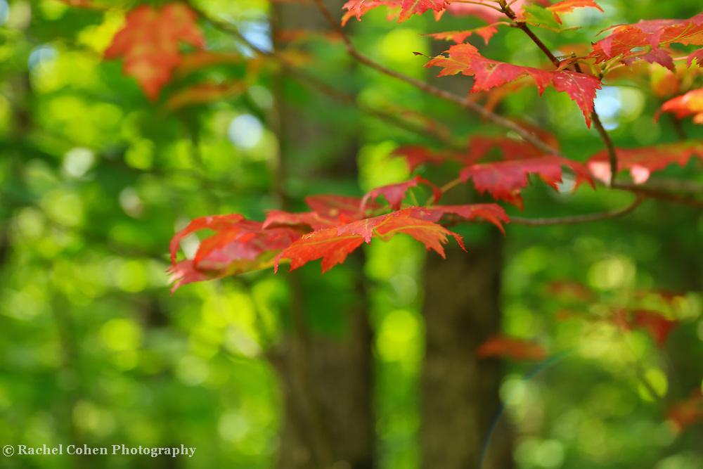 """""""Tip in Red""""<br /> <br /> A delightful bokeh filled image with lovely red maples in the foreground!!<br /> <br /> Fall Foliage by Rachel Cohen"""