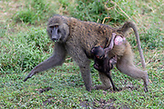 Female Olive baboon (Papio anubis) with recently born baby. Photo from Maasai Mara, Kenya.