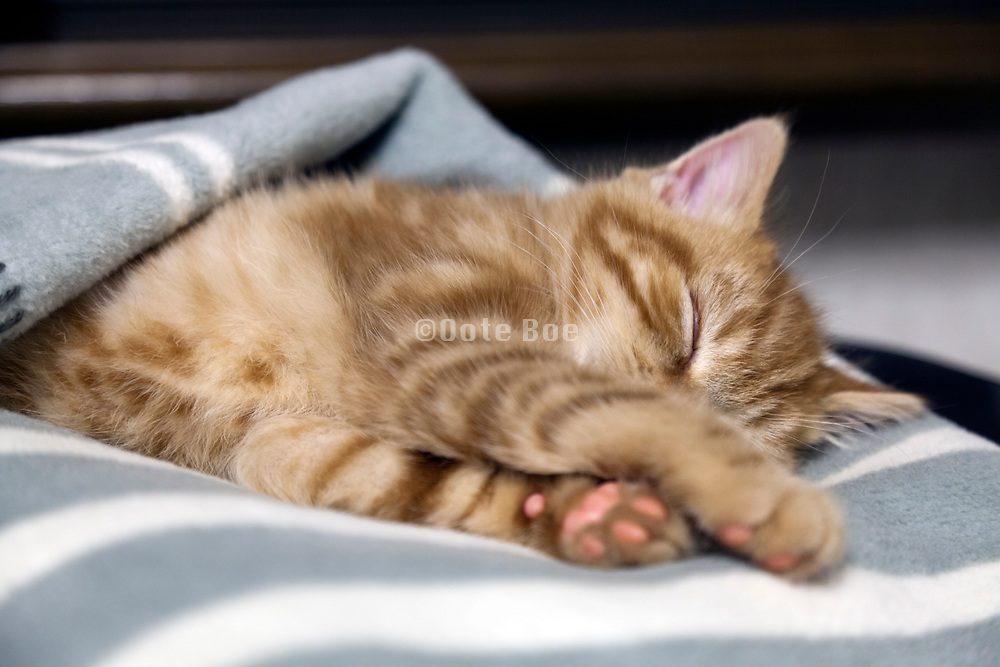 little sleeping kitten covered with a blanket