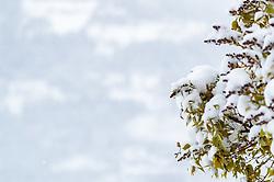 19.04.2017, Kaprun, AUT, Wintereinbruch in Salzburg, im Bild grüne Blätter vom Schnee bedeckt // Green leaves covered by the snow, Kaprun, Austria on 2017/04/19. EXPA Pictures © 2017, PhotoCredit: EXPA/ JFK