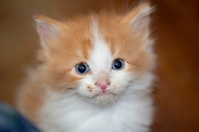 Domestic Longhair ginger kitten. Columbus, Ohio, USA. May 2014