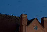 Middletown, New York  - Crows (Corvus brachyrhynchos) perch on a church roof in downtown Middletown on the evening of Feb. 2, 2012. The crows flying above the building are blurred in the long exposure.