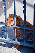 Friendly guard dog, a cute Dachshund, rests on gate at Ballyhack, County Wexford , Southern Ireland