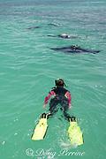 snorkeler observes manta rays feeding in lagoon, Christmas Island ( Kiritimati ), Republic of Kiribati, northern Line Islands, equatorial Central Pacific Ocean, MR 299