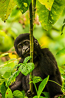A baby mountain gorilla plays in the trees of the rain forest, Bwindi Impenetrable National Park, southern Uganda, near the border of Rwanda and Congo.            <br /> <br /> Bwindi Impenetrable Forest contains 400 Mountain Gorillas, half the world's population of Mountain Gorillas. It is a World Heritage Site.<br /> <br /> The Bwindi Impenetrable Forest is a large primeval forest located in south-western Uganda in the Kanungu District. The forest is on the edge of the Albertine Rift, the western branch of the East African Rift, at elevations ranging from 1,160 to 2,607 metres (3,806 to 8,553 ft).