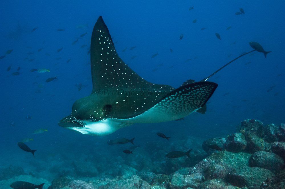 Spotted Eagle Ray (Aetobatus narinari) off of Darwin Island<br /> north Galapagos Archepelago. ECUADOR.  South America<br /> RANGE: Common to occasional in the entire archipelago of Galapagos, Peru north to Baja including off-shore islands.<br /> They cruise along walls, over reefs and sandy areas. May be solitary or in small groups or occasionally in large schools. They stop to dig in sand and feed on mollusks and crustaceans. They have also been observed feeding on barnacles in Galapagos.