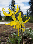 A Glacier Lily (Erythronium grandiflorum) blooms with a yellow flower. Near Blewett Pass, hike 6-7 miles with 2400 feet cumulative gain from Iron Creek to Teanaway Ridge, in Washington, USA.