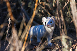 Ermin.  an ermin it the white winter phase of a weasel.