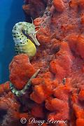 potbellied seahorse, big-belly seahorse, big-bellied seahorse, or pot-bellied seahorse, Hippocampus abdominalis, Port Phillip Bay, Victoria, Australia