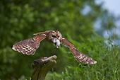 Photographing Wildlife - Tawny Owls