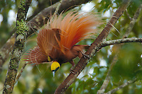 Raggiana Bird of Paradise (Paradisaea raggiana).Adult male at his display site:  performing display..Kiburu Forest, Southern Highlands Province, Papua New Guinea.