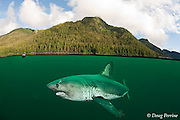 salmon shark, Lamna ditropis, Port Fidalgo, Prince William Sound, Alaska, U.S.A.; this apex predator, sometimes called the Pacific porbeagle, is a mackerel shark in the order Lamniformes; it swims in cold water, but is warm-blooded ( homeothermic ); copepod parasites trail from dorsal and pectoral fins (dc)