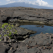 One small Mangrove grows near a salt water pot hole. The hole is filled with water from the ocean via small cracks and lava tubes. Fernandina island Galapagos, Ecuador.