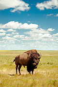 A bison standing alone at 5 Diamond Bison Ranch
