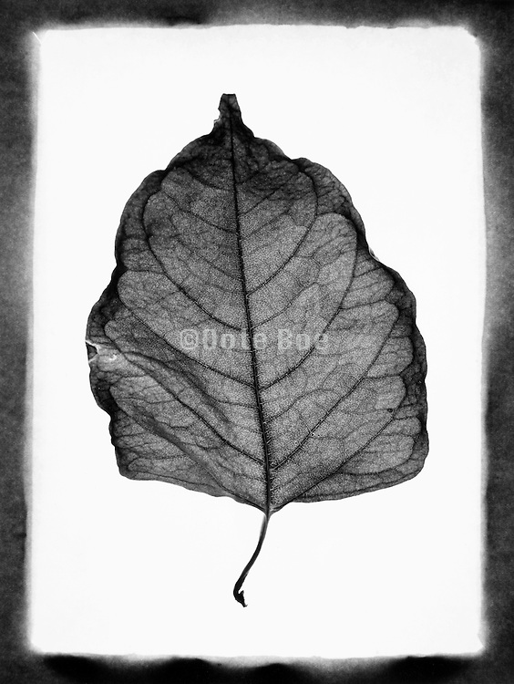 A dried leaf against a white background