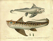 1. The Antarctic Chimera 2. The Arctic Chimera 3. The Chermes Insects of the fig tree. Handcolored copperplate engraving From the Encyclopaedia Londinensis or, Universal dictionary of arts, sciences, and literature; Volume IV;  Edited by Wilkes, John. Published in London in 1810