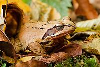 Agile frog, Rana dalmatina among dead leaves, forest in Plitvice National Park, Croatia