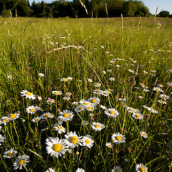 Daisies in a hay field in Essex, Massachusetts.