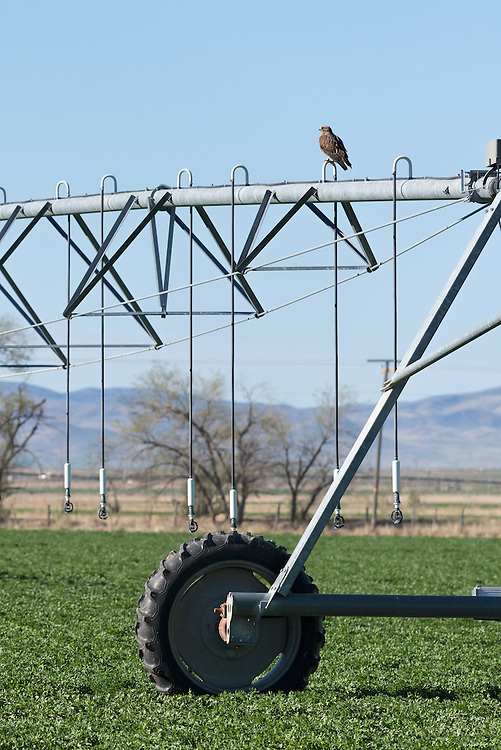 Swainson's hawk perched on an irrigation line in Beaver County, Utah.
