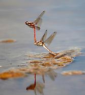 Common Darter dragonflies Sympetrum striolatum -  egg laying.