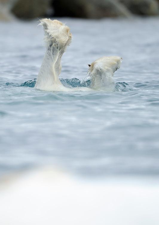 Polar Bear, Ursus maritimus, diving,  Svalbard, Norway