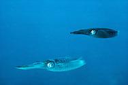 Squid, cephalopods, Teuthida, Bonaire