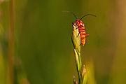 Soldier beetle on top of a frond of grass, lit by the evening sun.