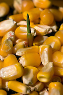 Stock shots of field corn right after is sprouted..SEEDLING..Photo stock for Ethanol in the Midwest. .(Chris Machian/Prairie Pixel Group)