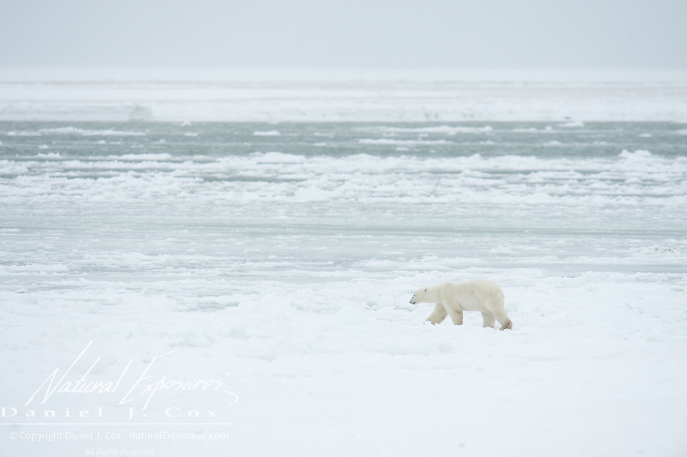 A lone polar bear walks the shores of Hudson Bay near Cape Churchill, waiting for the ice to freeze. Manitoba.
