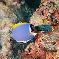 Surgeonfishes and Unicornfishes