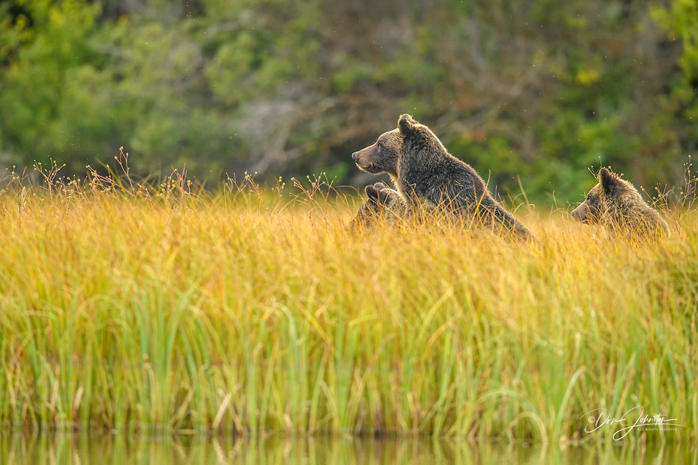 Grizzly bear (Ursus arctos)- Mother and first year cub resting in grasses after hunting for spawning sockeye salmon, Chilcotin Wilderness, BC Interior, Canada, Chilcotin Wilderness, BC Interior, Canada