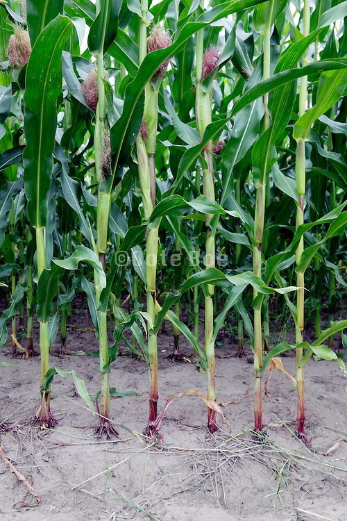 row of evenly planted corn maize