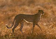 Image of a prowling cheetah (Acinonyx jubatus) hunting for food at the Masai Mara National Reserve in Kenya, Africa by Randy Wells